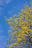 Spring maple Stock Images