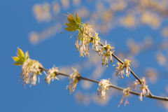Spring maple branch Royalty Free Stock Image