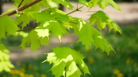 Spring maple with bright green leaves against the background of grass with dandelions. Spring foliage on a tree is a sunny day in the city stock video footage