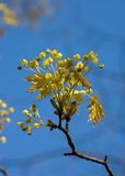 Spring maple close-up. Spring maple on a background of the blue sky Royalty Free Stock Photography