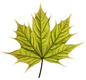 Spring maple leaf Stock Image