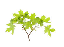 Spring maple leaves. Isolated over white Stock Image