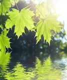 Spring Maple leaves. Under sun beams Royalty Free Stock Photography