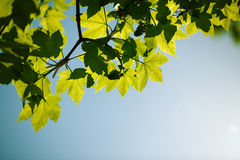Spring Maple Leaves Royalty Free Stock Photos