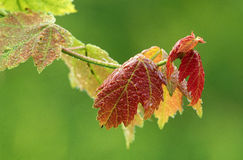 Spring Maple Leaves with Dew. Dew covered Maple leaves in early spring, early morning Stock Photo
