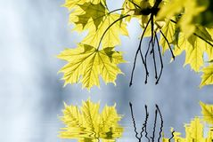 Spring maple leaves in the forest Stock Photography