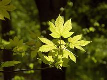 Spring maple leaves in the forest Stock Images
