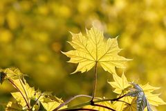 spring maple leaves in the forest at sunset Stock Photos