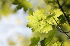Free Spring Maple Leaves In The Forest Close Up Of Leaf Backlit By Morning Sun April Stock Images - 146074214