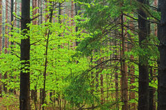 Spring Maple in Pine Forest Stock Photo