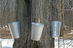 Spring, maple syrup season. Stock Photo
