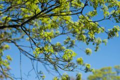 Spring maple tree branches against blue sky Stock Photography
