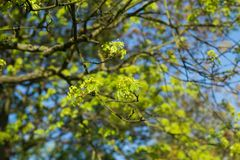 Spring maple tree branches against blue sky Royalty Free Stock Images