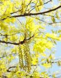 Spring maple tree Stock Image
