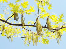 Spring maple tree Royalty Free Stock Photo
