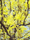 Spring maple tree Royalty Free Stock Photography