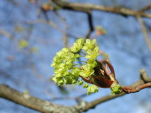 Spring - Maple tree flowers Stock Image