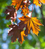 Spring Maple tree with leaves. Maple leaf macro view. soft focus, green background Stock Photos
