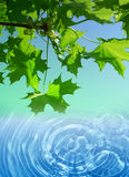 Spring maple tree and water background. Spring maple tree and fresh water Royalty Free Stock Image
