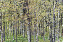 Spring Maple Trees. Maple trees in springtime that are beginning to get their leaves Royalty Free Stock Images