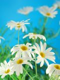 Spring marguerite Royalty Free Stock Photo