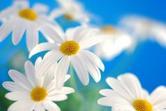 Spring marguerite Royalty Free Stock Images