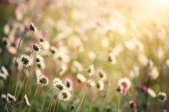 Spring marguerite flower Stock Photo