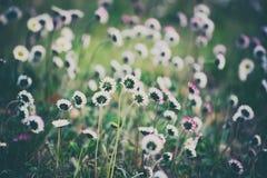 Spring marguerite flower Stock Image
