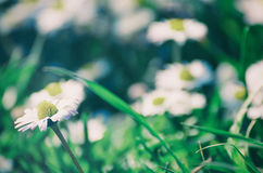 Spring marguerite flower Royalty Free Stock Photography