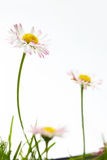 Spring marguerite flowers Royalty Free Stock Photos