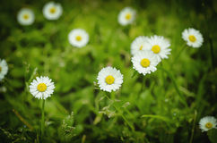Spring marguerite flowers Stock Images