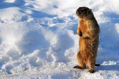 Spring marmot Stock Image