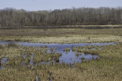 Spring Marsh. Marsh wetland in early spring with standing water. At this time of year the weedy shores are filled with sing frogs and in the open water ducks stock images