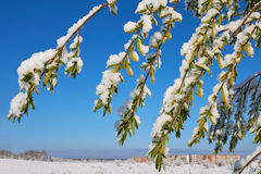 Spring May morning. Spring, a sunny May morning, the night was snowing beautifully snow-covered tree branches, leaves and flowers Royalty Free Stock Photo