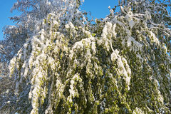 Spring May morning. Spring, a sunny May morning, the night was snowing beautifully snow-covered tree branches, leaves and flowers Stock Photography
