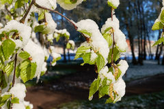 Spring May morning. Spring, a sunny May morning, the night was snowing beautifully snow-covered tree branches, leaves and flowers Stock Image