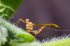 Spring Mayfly Royalty Free Stock Photography