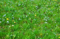 Spring Meadow. Close-up Image of Spring Meadow with Green Grass and Field Flowers Stock Photography