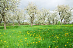 Spring Meadow. Many dandelions and trees on the spring meadow Stock Photos