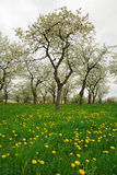 Spring Meadow. Many dandelions and trees on the spring meadow royalty free stock photos