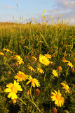 Spring meadow. With yellow blooms in warm evening sun Stock Image
