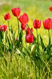 Spring Meadow. With Fresh Green Grass and Tulips. Beautiful Sunny Day. Nature Photo Collection Stock Image