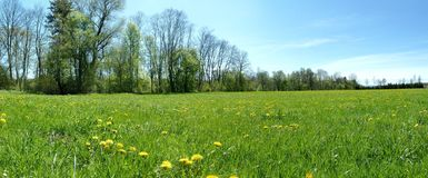 Spring Meadow. Dandelions and trees on the spring meadow in germany Stock Photos