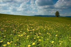 Spring meadow. With trees in background Royalty Free Stock Photo