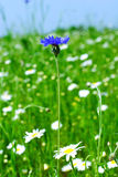 Spring meadow. With  lonely cornflower and camomile flowers Stock Images