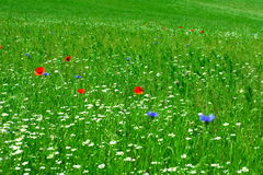Spring meadow. With flowers: camomile flowers, poppys, cornflowers Stock Photo