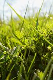 Spring-meadow. Closeup of a fresh, green meadow on a morning in spring Stock Photography