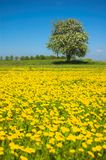 Spring meadow. Green meadow full off yellow spring flowers royalty free stock image