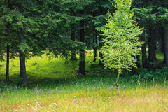 Spring meadow and aspen and fir trees Stock Photography