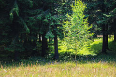 Spring meadow and aspen and fir trees Stock Images